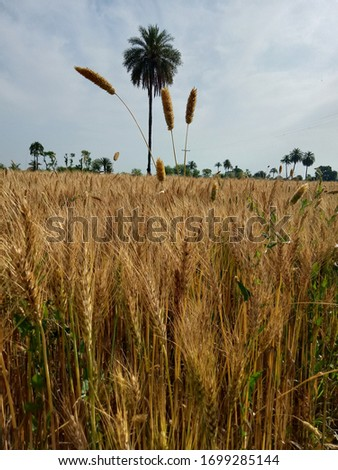 Beautiful wheat crops and dates picture in fields #1699285144