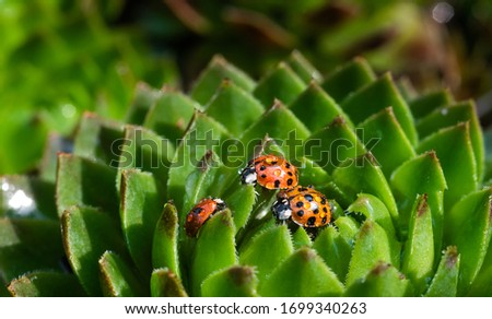 Family of red ladybugs on a green spiky plant. Mom, dad and kid little ladybirds are covered with dew drops. The baby reaches for the parent. Cute and beautiful macro for wallpaper or photo picture.