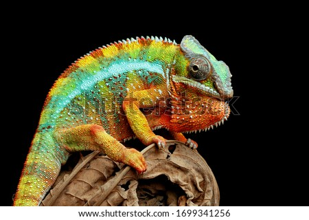 Beautiful of chameleon panther, chameleon panther on branch, chameleon panther closeup, Chameleon panther on dry leaves with black backround, Royalty-Free Stock Photo #1699341256
