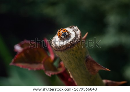 An orange ladybug sits on a cut stem of a rose and basks in the spring sun. Summer morning. Cute and beautiful macro for wallpaper or photo picture.