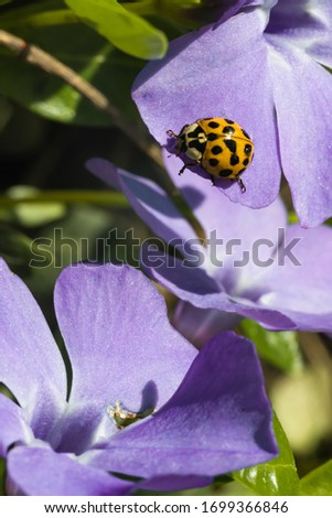 An yellow ladybug sits on a purple small flower and basks in the spring sun. Summer morning. Cute and beautiful macro for wallpaper or photo picture. Vertical frame orientation.