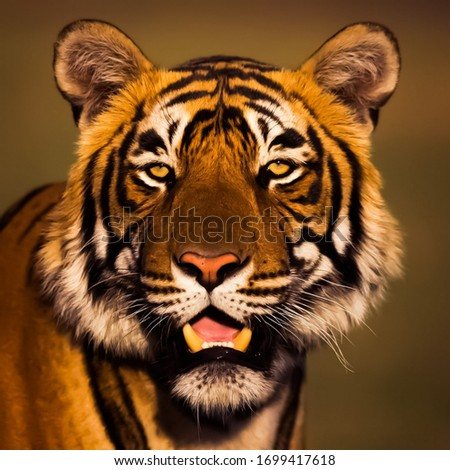 Beautiful picture of angry tiger in wildlife
