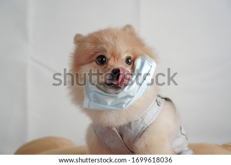 Virus, disease and pollution concept, small dog breeds or Pomeranian wearing a cloth and surgery mask, licking in its nose and sitting on a brown bolster with a white cloth background #1699618036