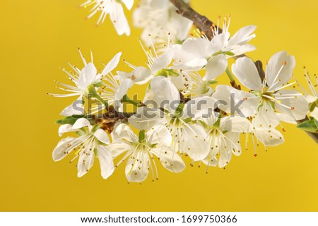 White blossoms of spring against a yellow background. Closeup macro photography in high resolution, studio shot.