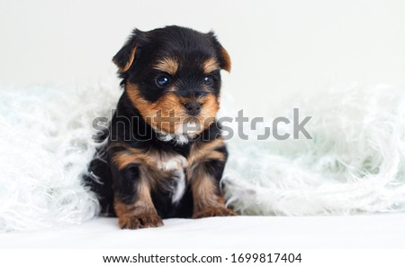 little cute puppy sits comfortably in a fluffy blanket #1699817404