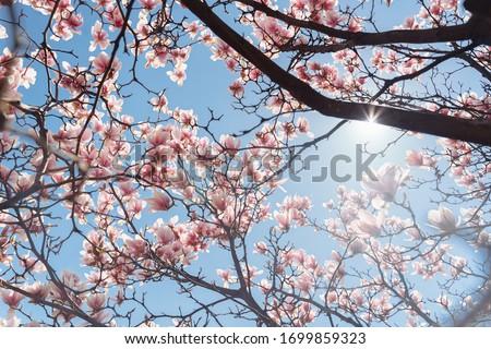 Beautiful magnolia tree. Close up magnolia flower. Spring in Uzhgorod Ukraine.