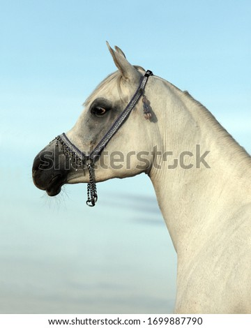 Arabian Horse. Gray stallion with traditional tack and saddle  #1699887790