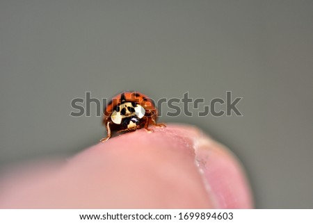Macro photograph of an isolated and small specimen of Harmonia axyridis, also called Asian ladybeetle or harlequin, on natural background. #1699894603