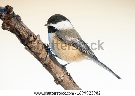 Winter chickadee perched on a branch. #1699923982