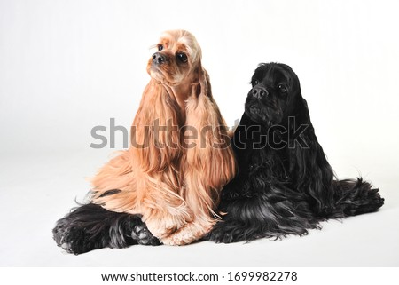 Two cute american cocker spaniels in the studio on a white background, cocker spaniels isolated on white #1699982278