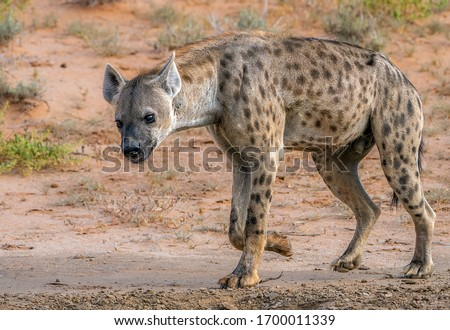 lone hyena walking in the veld looking for food