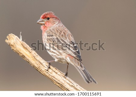 Close up photos of a house finch with even backgrounds. Royalty-Free Stock Photo #1700115691
