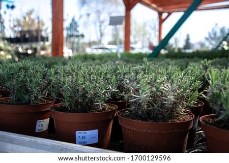 Picture of seedlings of lavender in Kwiaton (garden shop) in Wrocław, Poland.