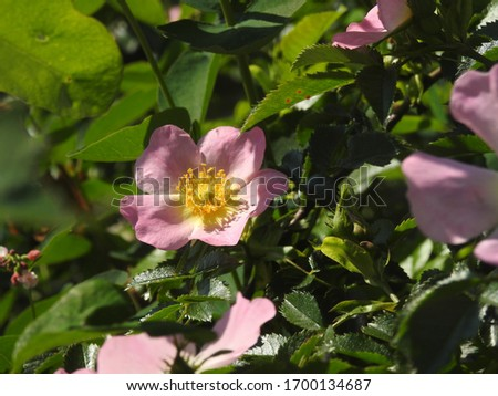 pink rose hip blossom in the spring in döbeln #1700134687