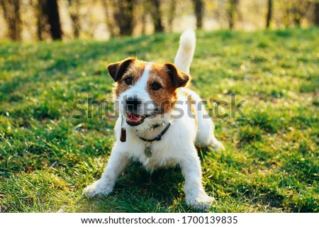 Jack Russell Dog sits on the green grass smiling Royalty-Free Stock Photo #1700139835