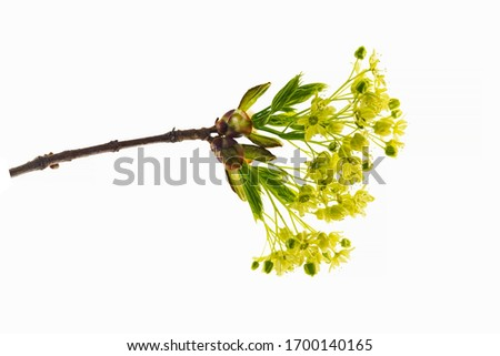 Norway maple (Acer platanoides) flowers isolated on a white background. Flowers of Norway Maple (Acer Platanonides). #1700140165