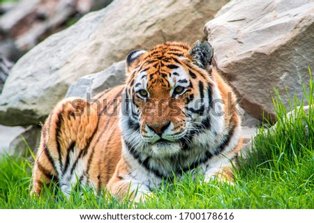Tiger relaxing on a hot day in the bright green grass. #1700178616