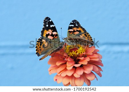 two painted lady butterflies kissing