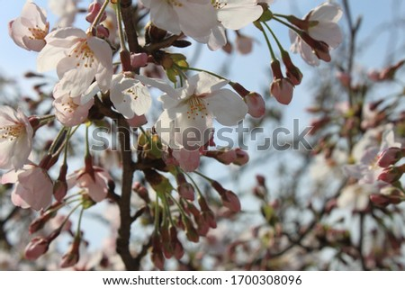 Cherry blossoms in Japan, April 2015 #1700308096