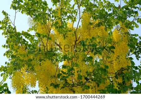 Yellow flowers of Cassia fistula #1700444269