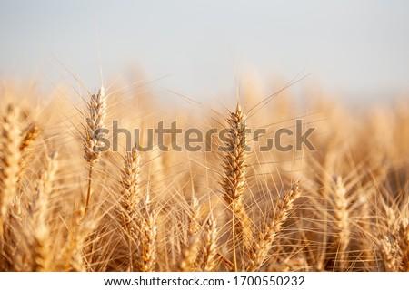golden barley field at summer time #1700550232