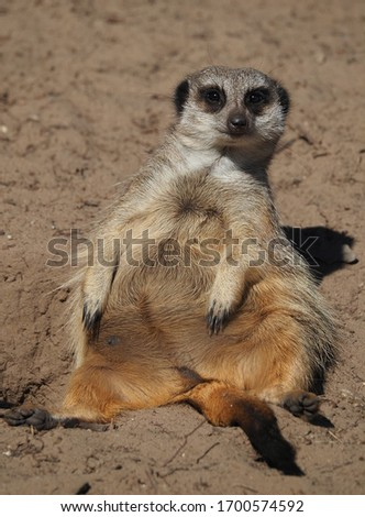 Pregnant meerkat enjoying the sun #1700574592
