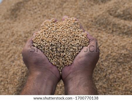 Wheat (Triticum aestivum) crop farming concept. Wheat (Triticum aestivum) grains. Prosperity Concept. Agribusiness background.  #1700770138