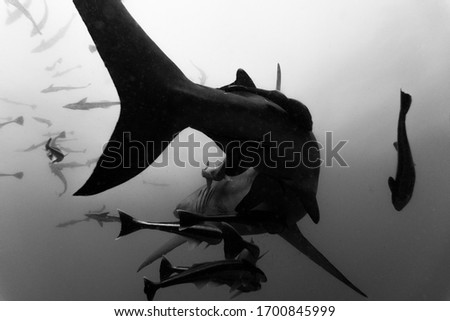 Oceanic Black Tip shark with Remoras swimming away, black and white, Umkomaas South Africa