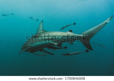 Oceanic Black Tip shark with Remoras swimming away, Umkomaas South Africa