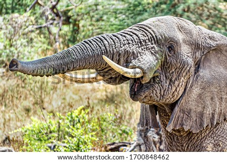 A closeup shot of an elephant making trumpet sound by pushing air through its trunk