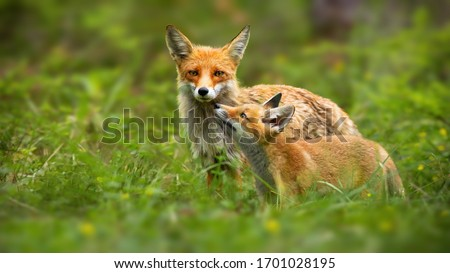 Family of red fox, vulpes vulpes, mother and young cub touching with noses in green summer nature. Close interaction between female adult mammal and her offspring. Animal wildlife. Royalty-Free Stock Photo #1701028195