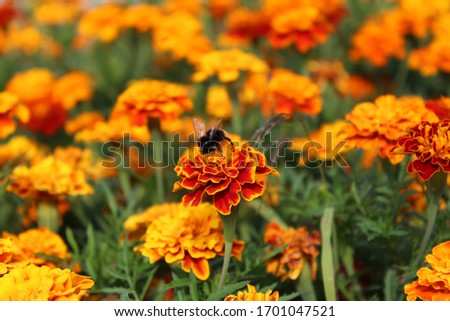 A close-up of orange flowers and a bumblebee during a sunny day  #1701047521