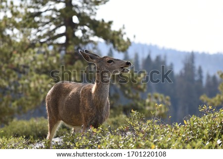A mule deer surrounded by trees and foliage pictured near Sentinel Dome in Yosemite National Park