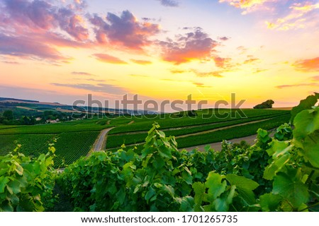 Row vine grape in champagne vineyards at montagne de reims, Reims, France Royalty-Free Stock Photo #1701265735