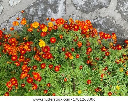 Marigolds Tagetes erecta, Mexican marigold, Aztec marigold, African marigold in the garden. #1701268306