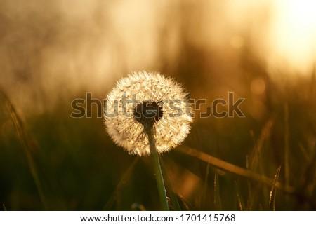 Dandelion (Taraxacum sect. Ruderalia ) close-up against setting sun. #1701415768