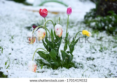 Winter is back - In the picture are tulips in spring with snow