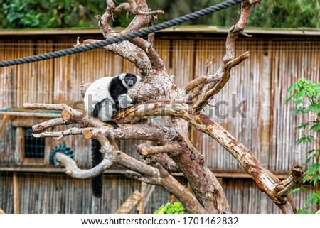 Black and white lemur vari in safari park sits on a trunk of a dry tree #1701462832