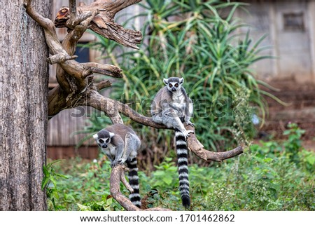 Two lemurs are sitting on a branch of a dry tree in a safari park #1701462862