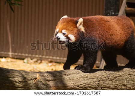 This is a picture of a red panda walking.