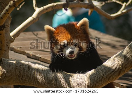 This is a picture of a cute red panda.