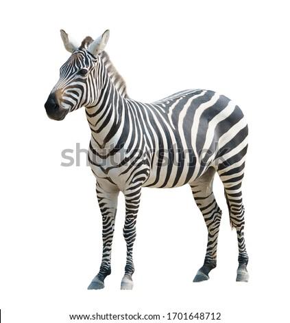 zebra isolated on white background Royalty-Free Stock Photo #1701648712