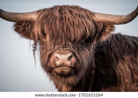 Scottish Highland Cattle  newborn sunset Royalty-Free Stock Photo #1701655264