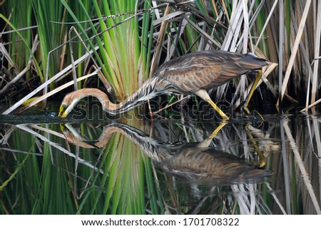 The Purple Heron (Ardea purpurea)is a wading bird in the heron family Ardeidae, breeding in Africa, central and southern Europe, and southern and eastern Asia. Camouflaged, fishing and with reflection