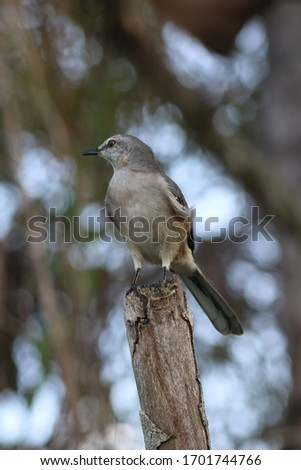 a gray mockingbird perched on a tree