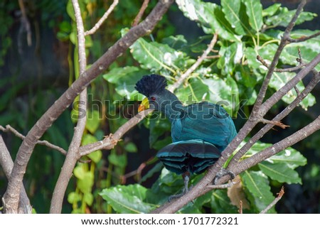 Large profile of the blue-crested turaco bird. Dubai. Emirates #1701772321