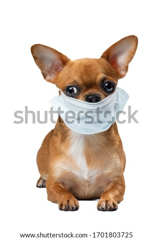 A dog in a medical mask. Cute Chihuahua dog in a medical mask on a white background in the Studio