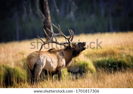 Elk in Yellowstone National Park  Royalty-Free Stock Photo #1701817306