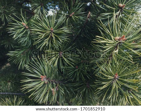 Spruce branch. Beautiful branch of spruce with needles. Christmas tree in nature. Green spruce. Spruce close up. #1701852910