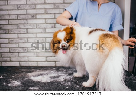 Beautiful pet spitz at hair cutting procedure, at Grooming salon. animals, grooming, drying and styling dogs, combing wool. professional grooming master cuts and shaves, cares for a dog #1701917317